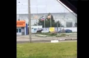 Лоси зачастили в города Смоленской области