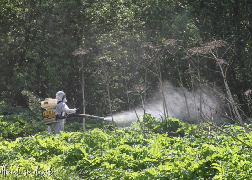 В Смоленске продолжают борьбу с борщевиком