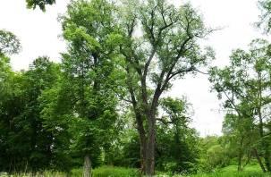 Смоленский тополь ждет поддержки в конкурсе «Российское дерево года 2021»