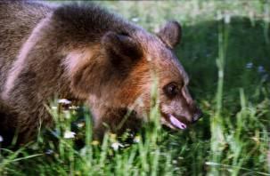 На смоленской дороге медведь решил познакомиться с водителем. Чем закончилась встреча?