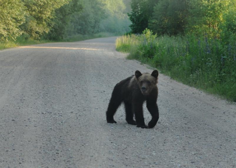 Медвежья болезнь. Что делать, если встретил косолапого?