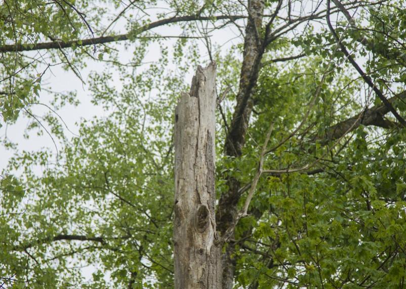 Смолянам разъяснили, куда обращаться по проблеме аварийных деревьев