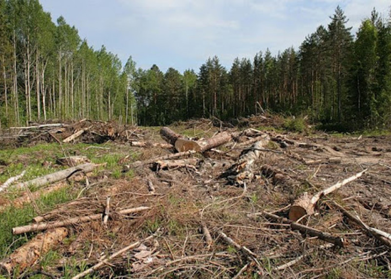 Житель Смоленской области незаконно спилил 26 елей