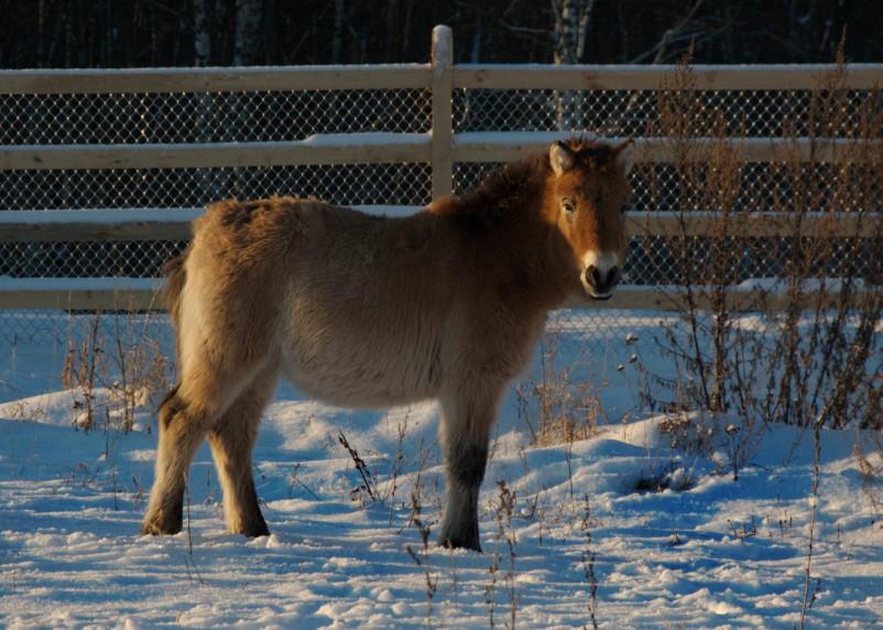 Случайно «помножили на ноль». Лошадь Пржевальского ошибочно назвали исчезнувшим видом