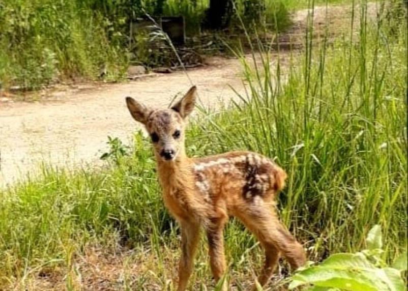 В смоленском приюте для животных загрызли олененка Сухарика