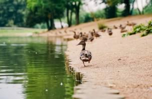 Названа причина гибели уток в парке «Соловьиная роща»