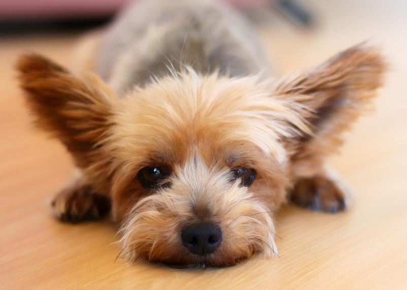 Собачье сердце. Хозяйка хотела вернуть йоркширского терьера через суд, но не смогла