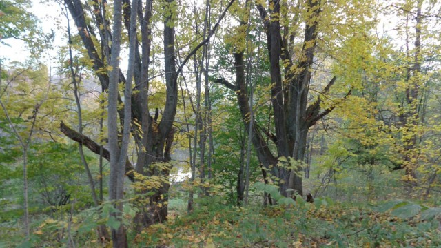 Два могучих 500-летних дуба в парке.