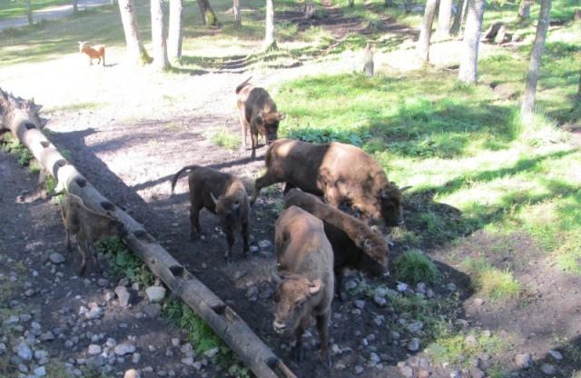 «Смоленское Поозерье» рассматривается как площадка для переселения литовских зубров