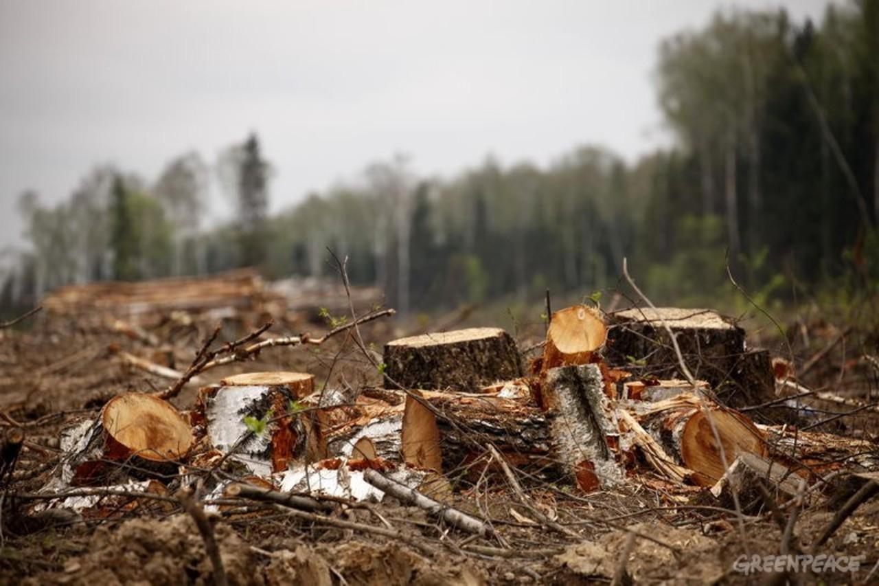 Картинки срубленный лес