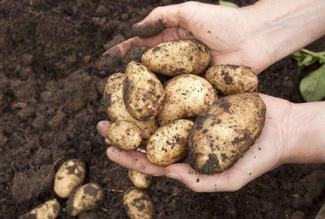 Сколько выкопанная картошка может находится на свету
